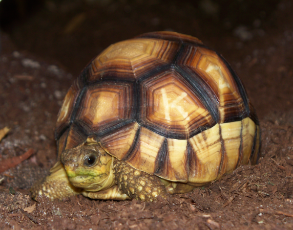 Ploughshare tortoise. One of the rarest animals in the entire world. There are fewer than 400 left in the wild.