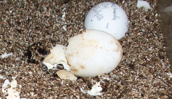 P.a. brygooi like to burrow. They hatch, they burrow. P. a. arachnoides hang around on top of the substrate.