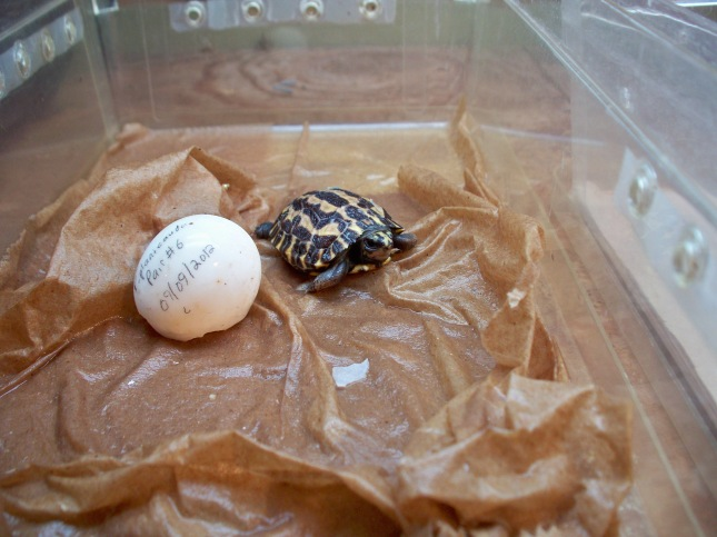 Pyxis planicauda. One of the rarest of the Malagasy dwarf tortoises. Critically endangered. Hatched this week. You're welcome.