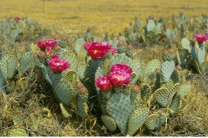 Prickly pear. Look at those awesome spines. I wonder if it would keep the neighbors' dogs from pooping in my flower bed.