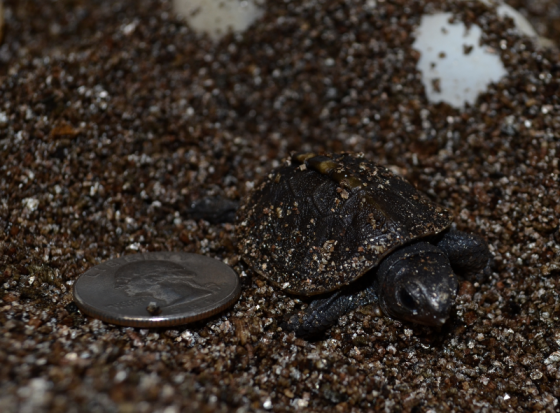 Here's your to-go box. Box turtle, that is. It hatched yesterday. It's an Eastern Box Turtle, Tennessee's state reptile.