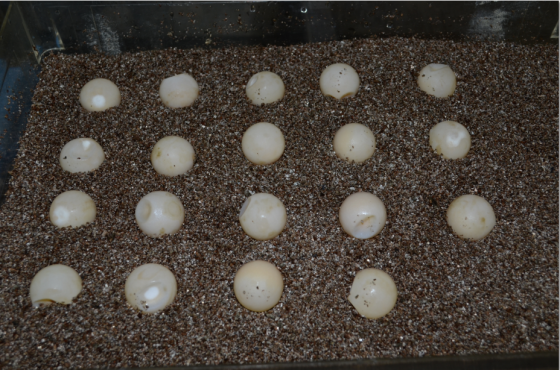 Snapping turtle eggs in early June. 19 eggs is on the low end of average.