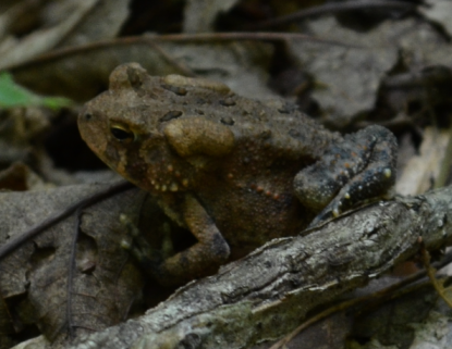 I'm pretty sure this is a juvenile American toad.