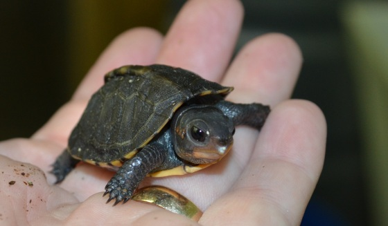 Gratuitous box turtle shot. Just because.