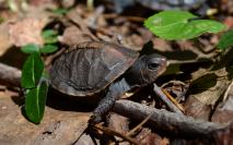 Terrepene carolina carolina, Eastern box turtle