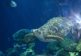 Oscar the sea turtle. He lost his back flippers in an enounter with a boat propeller, and now he lives here.