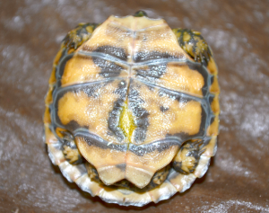 Gratuitous belly button shot! Hatchling pancake tortoise. The umbilicus is the bright yellow patch. It is rapidly disappearing.