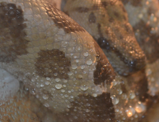 Look at the beads of water on its skin - proof that people are slimier than snakes. We sweat when we get hot. Snake skin is waterproof!