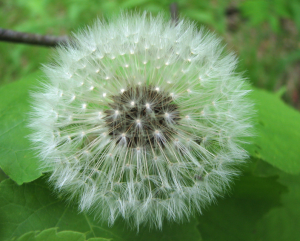 It's a gateway weed. Look at that lovely bloom! Why don't my dandelions bloom like that? I covet!