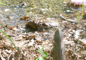 A wood turtle peeks out from his night-time hiding place under the leaf litter.