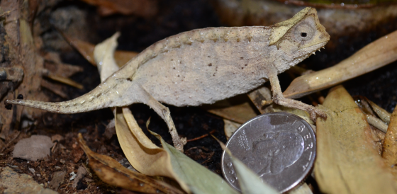 Brookesia stumpfii and an American quarter, which outweighs her by 2 grams. I should call her Big Mama.