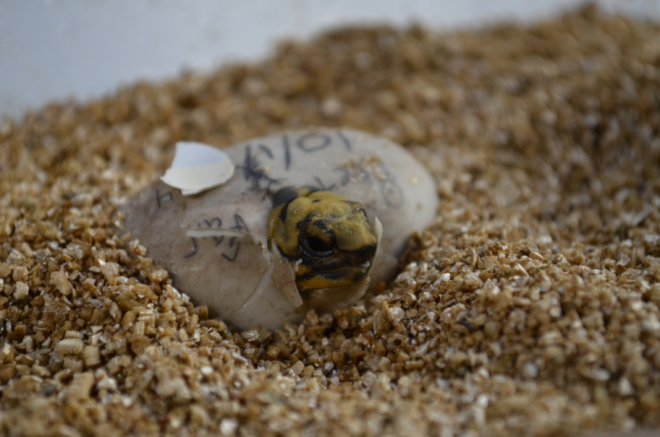 The hatchling waits until most of its yolk is absorbed to begin emerging.