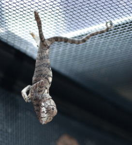 """Small chameleon goes Full Yoda - """"Take my picture, you will.."""""""
