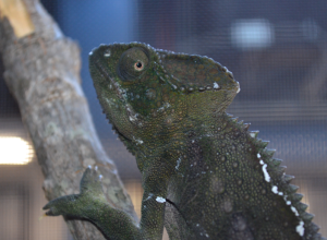Not gravid. Note the faded white spots down her sides. She's available, fellas!