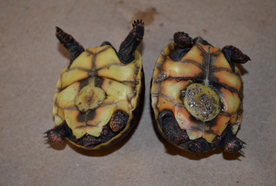 These babies have HUGE belly buttons! It took over a month for them to disappear. Click the image to enlarge. You'll be able to see how wrinkled that plastron is!