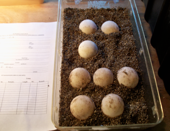 Eh, just stick it in the oven -er- incubator at 84 degrees and bake it for a few months.