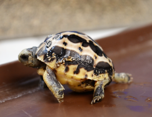 baby tortoise hatches