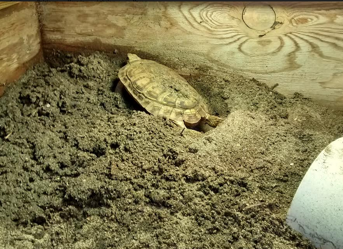 how to breed pancake tortoise