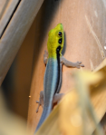 Neon Day Gecko Hatchling