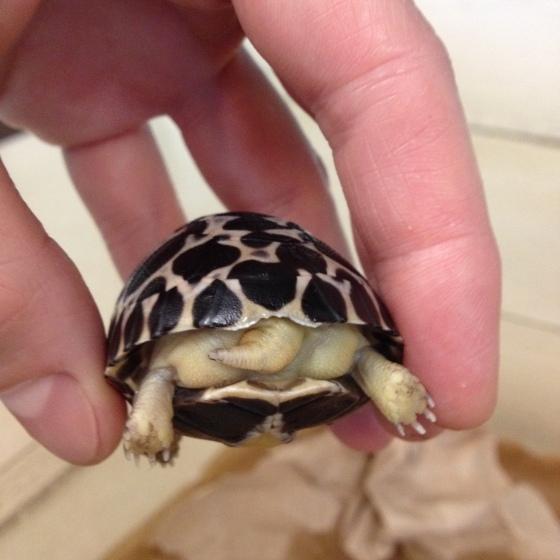 how tortoises hatch