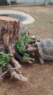 My ideas sometimes pay off. I got this giant stump so I could stuff browse in it. I wanted my animals to use different muscle groups to get their food. They are willing participants. And Princess G. G. uses the stump sometimes to scratch her bum.