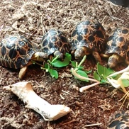 Tiny Radiated Tortoises enjoy a meal. Meatball is the smallest of the group. Not for long, though. That kid can EAT!