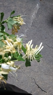 Honeysuckle is terribly invasive, but is smells incredible. INCREDIBLE. It's a gift I've been given.
