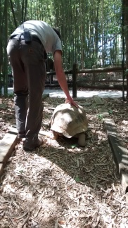 Giant Tortoise juveniles are sometimes willing to walk out of their exhibit to go inside when it's cold. I'm also grateful to my friend who took the time to help me move them.