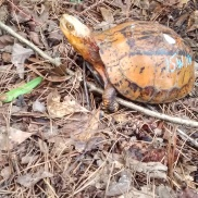 One of our customers waiting for his grub. This is a Coura galbinifrons, a flower-backed box turtle.