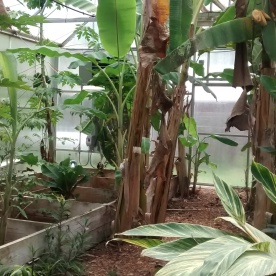 The greenhouse which not only houses critically endangered turtles, but also grows bananas, hibiscus, and other delicious things for them to eat!
