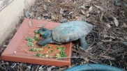 """Arakan Forest Turtle in a yoga pose I like to call """"Downward Facing Hungry Tortoise."""""""