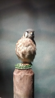 An American Kestrel. He was quite proud of himself and also very wiggly.