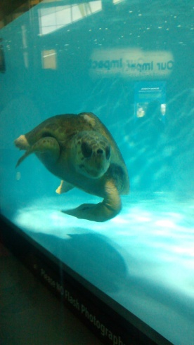 A rescued sea turtle. He is being rehabilitated. I think he is judging me because I dont have a shell.