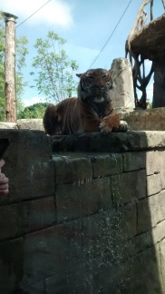 One of the tigers in our new Tiger Forest