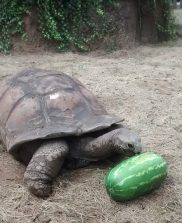 Big Al and his watermelon that was donated by a child. If I cut up the watermelon, it's gone in 10 minutes. A whole watermelon gets shoved around for 5 hours.