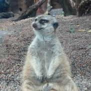 Meerkat just meerkatin'