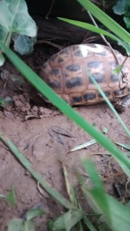 Endangered Malagasy Spider Tortoise digging a hole to lay her egg. Please lay your egg. I wanna go home.