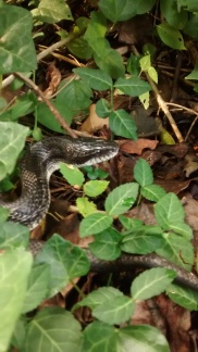 Hey, little rat snake! Have you seen my white quail anywhere?