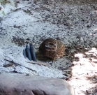 Western Burrowing Owl is not a fan of me, either